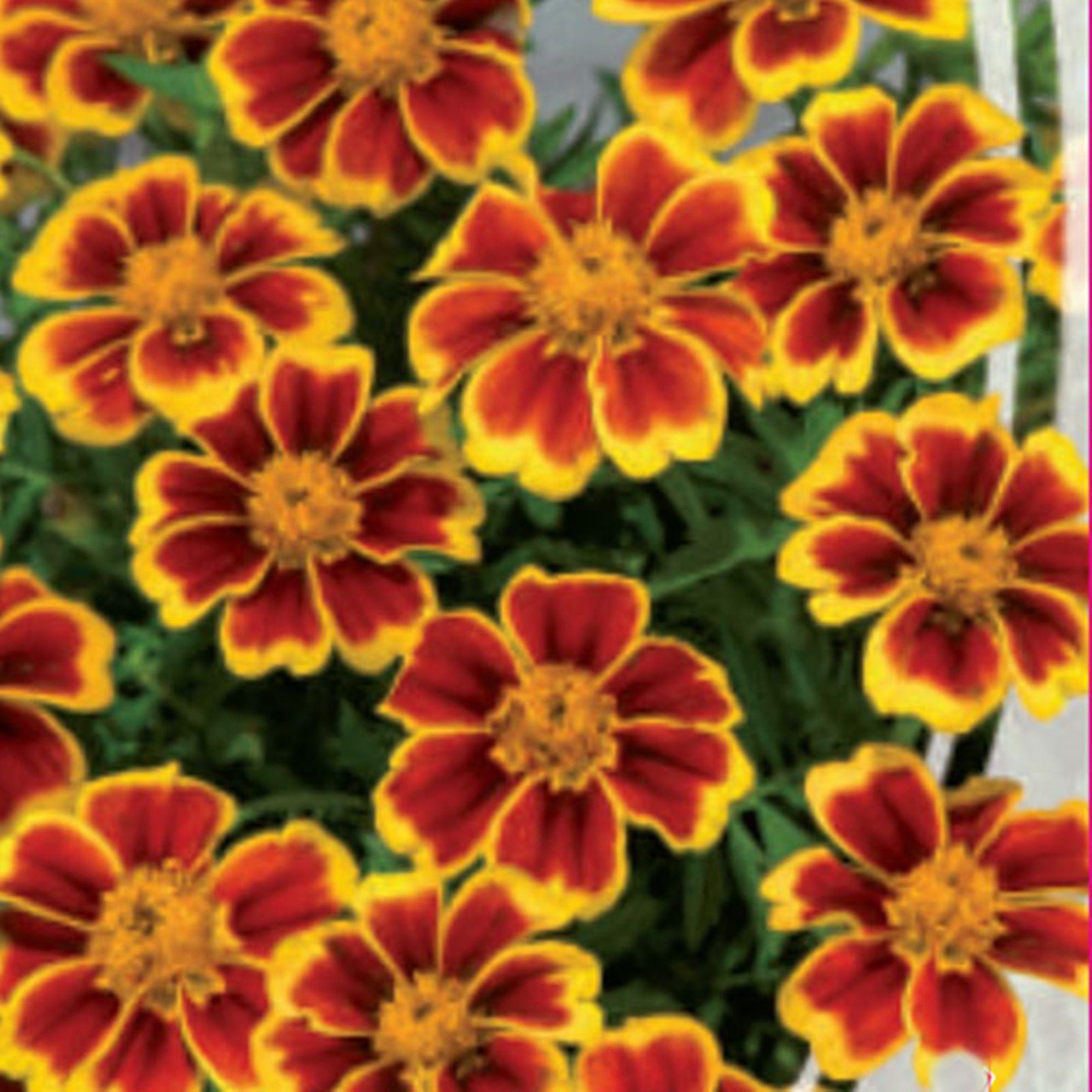 Tagetes patula Annual Flower Seeds French Marigold Marietta